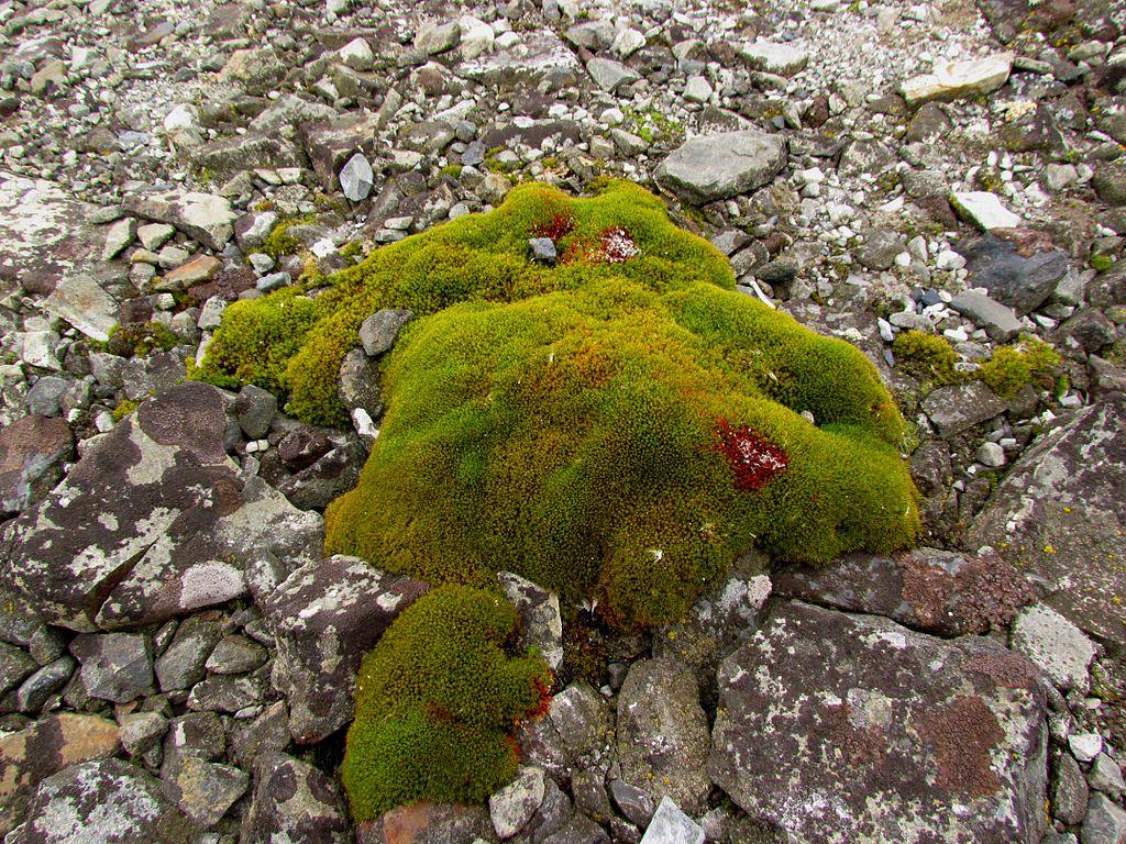 Antarctic Moss.jpg