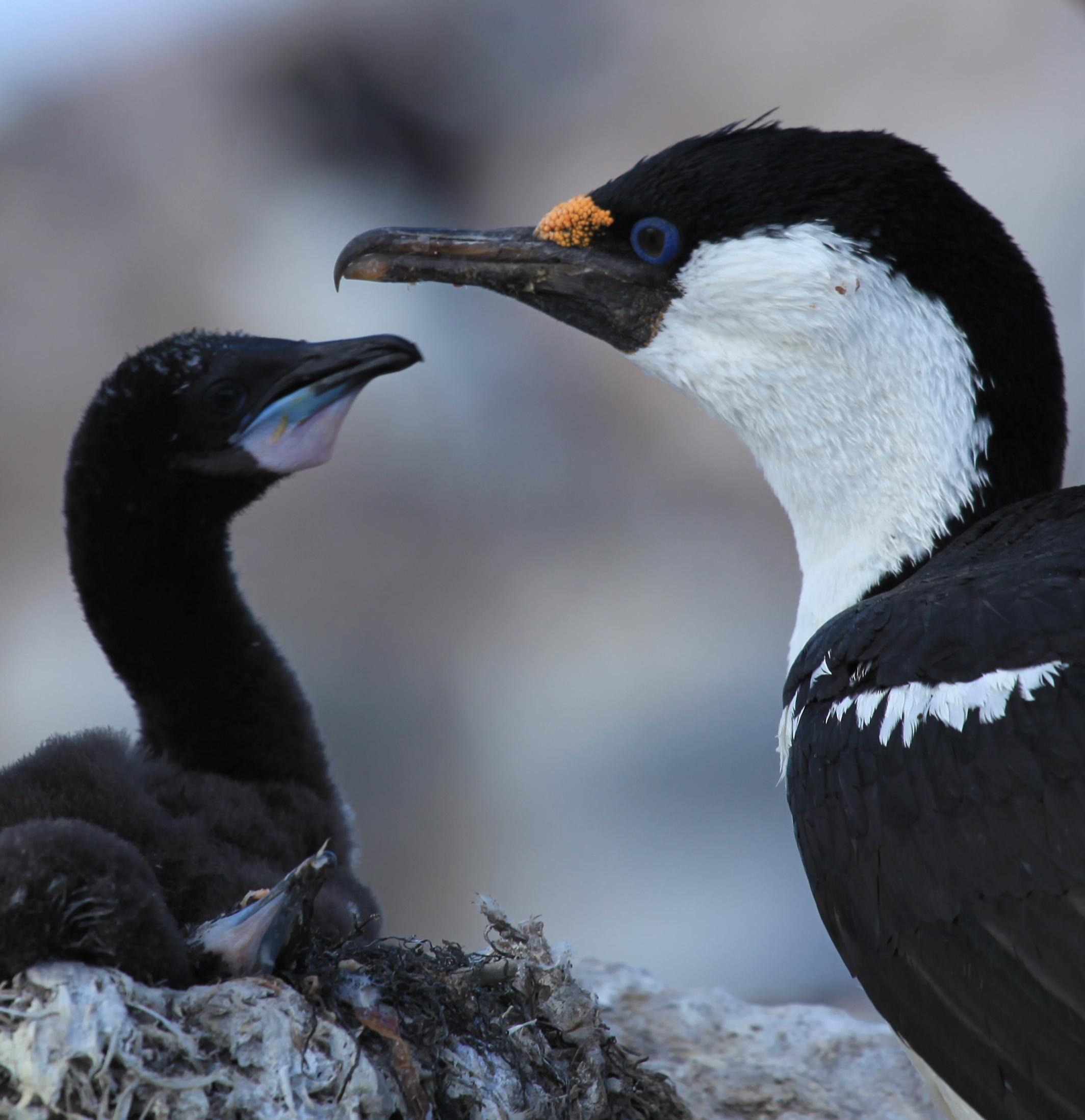 Antarctic Shag with chick.jpg
