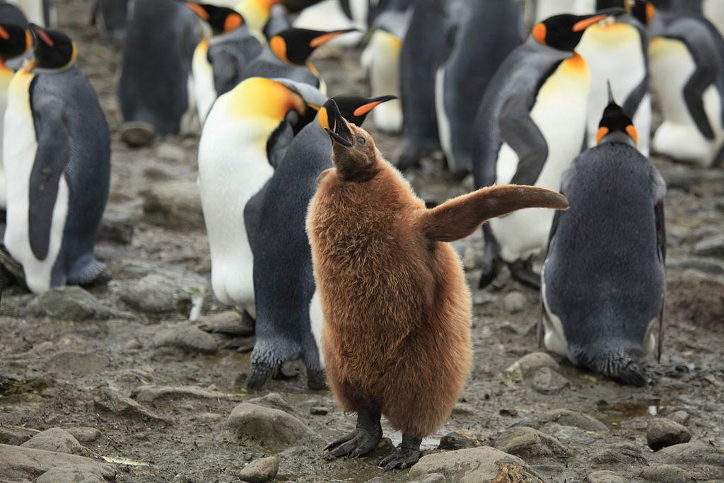 King Penguin Chick.jpg